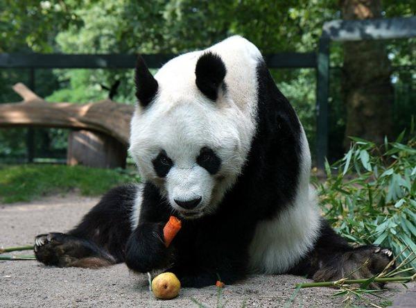 レゴ世界遺産 ジャイアントパンダ 本物